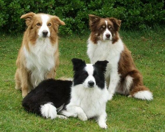 Black Border Collie + Brown Border Collie + Golden Border Collie in one photo #dogs