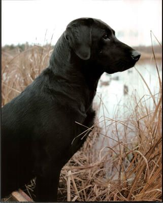 Black Lab Hunting Dog
