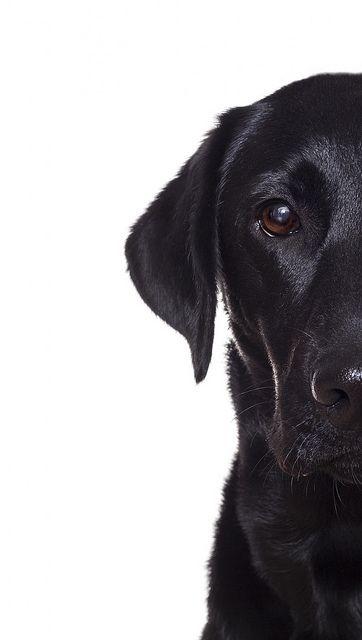 Black Labrador retriever photography puppy dog