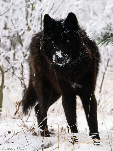 Black , German Shepherd, Alaskan Malamute mix. It looks just like a wolf! I want!!!! ♥