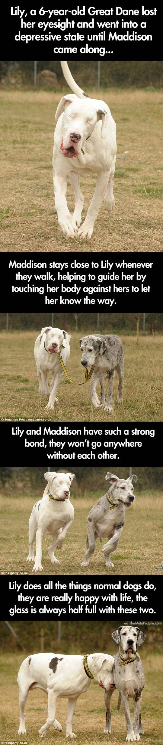 Blind Great Dane and her guide dog // funny pictures - funny photos - funny images - funny pics - funny quotes - #lol #humor #funnypictures
