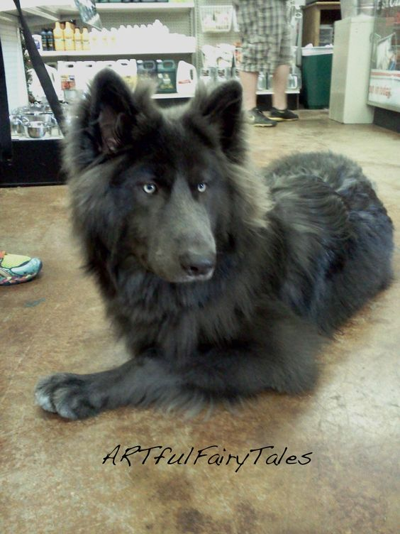 Blue Bay  cross between a timberland wolf and a german shepherd