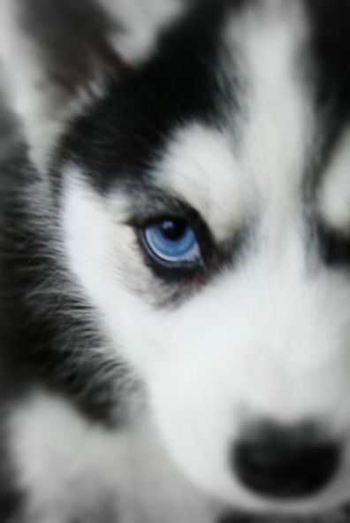 blue eyes ♥. Would like some evolutionist to explain why these dogs have blues eyes. God likes to keep us confounded with His majesty!❤️