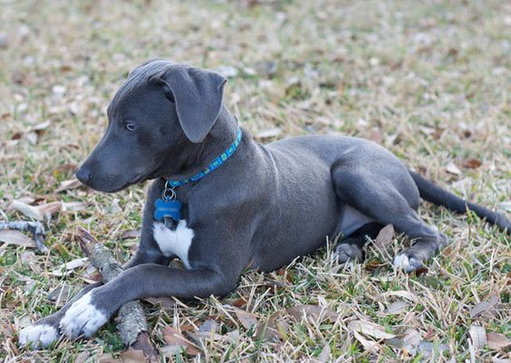 Blue Lacy - the official State Dog of Texas: