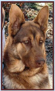 BlueDogs - Find Information about Blue, Liver and Isabella colored German Shepherd Dogs!