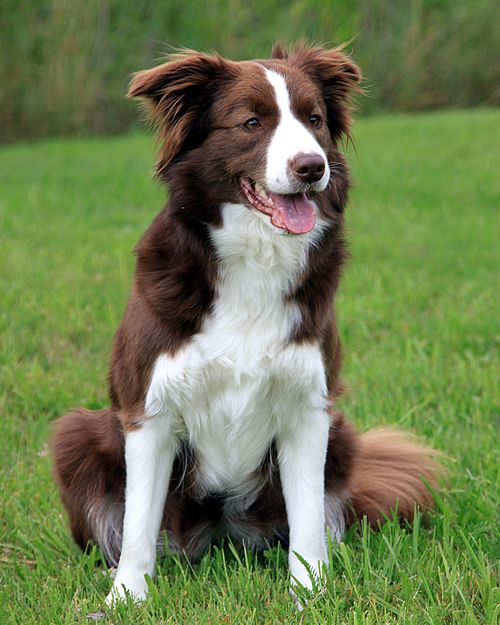 border collie pictures - Google Search very smart dog, it may decide things for