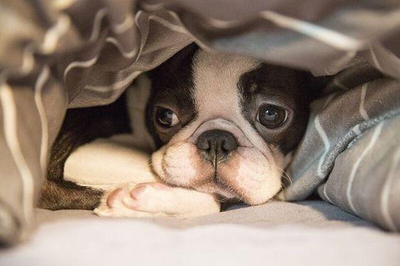 ♥ Boston Terriers