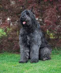 Bouvier des Flandres - cattle drover and guard~reminds me of my childhood dog we found in Mexico.