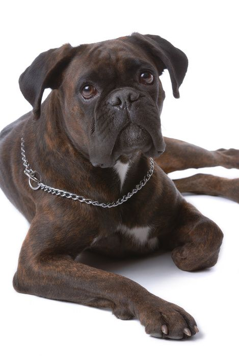 boxer dog - photo/picture definition - boxer dog word and phrase image