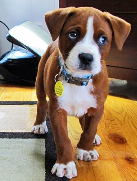 boxer mix pup. He is so cute