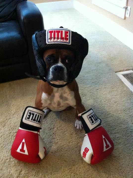 Boxer the Boxer