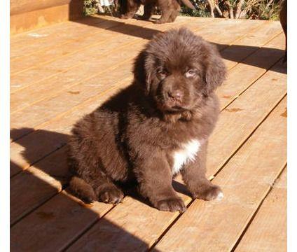 brown newfoundland puppies - Google  dog i want!