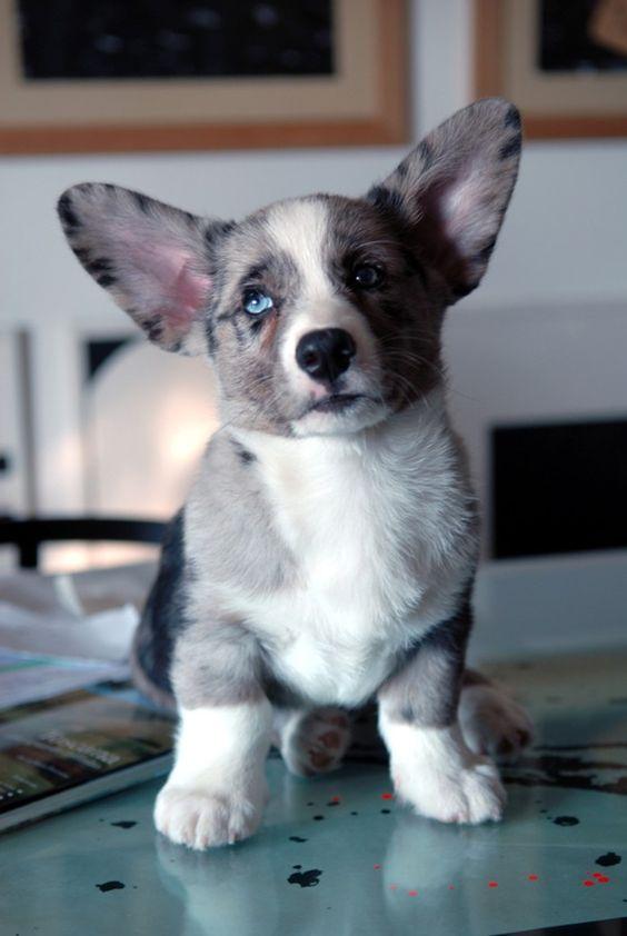 Cardigan Welsh Corgi puppy.