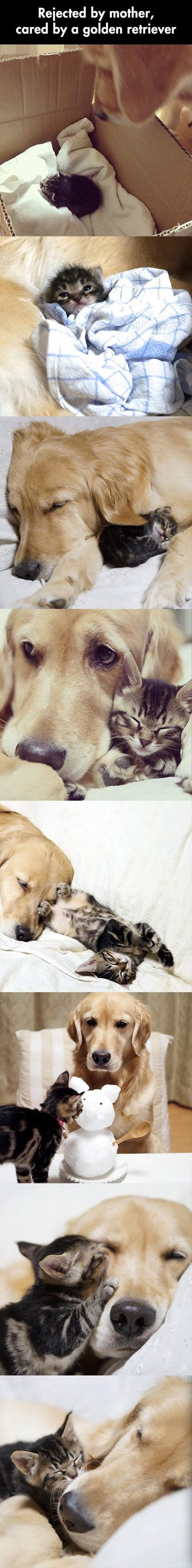 #Cat rejected by its #mother, cared for by a golden  Awww so cute -
