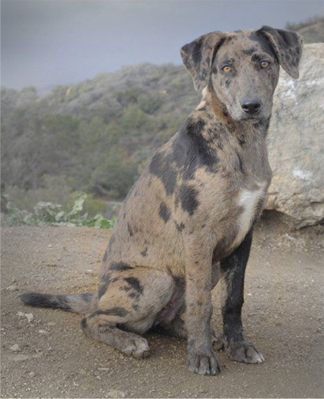 Catahoula Puppies | Catahoula Leopard Dog Photos Pictures Catahoula Leopard Dogs