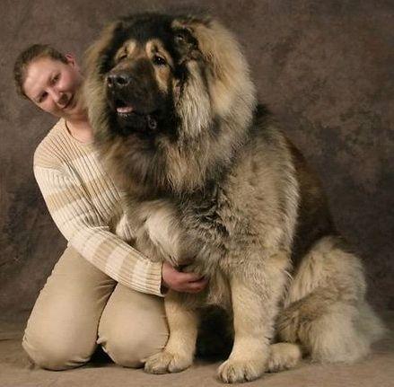 Caucasian Shepherd, oh my gosh big time cuddling