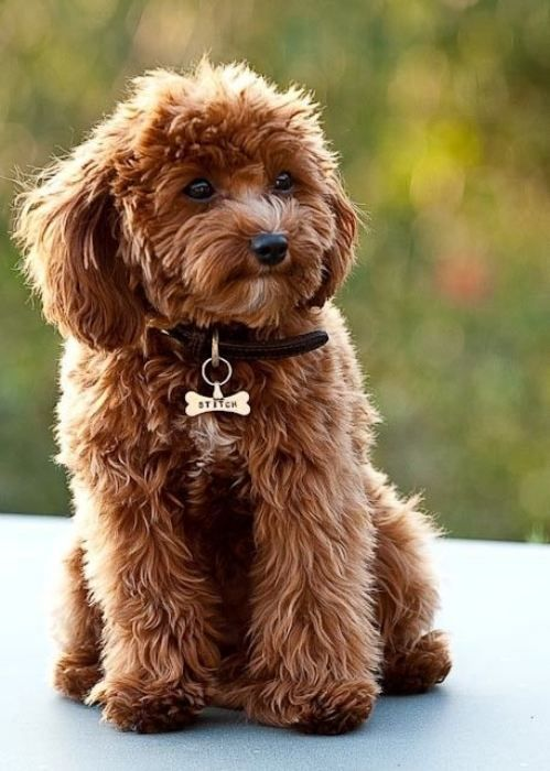 A mix between a Cavalier King Charles Spaniel and a Poodle. My new obsession!!