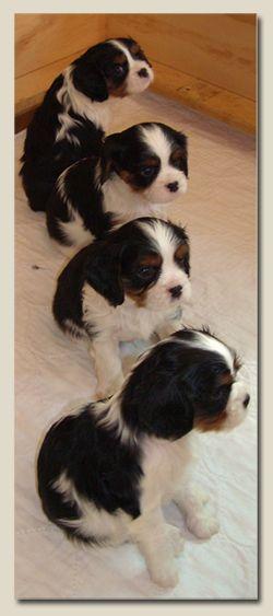 .Cavalier puppies