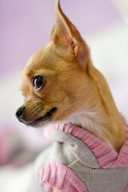 Chihuahua!!!!!! Adorable