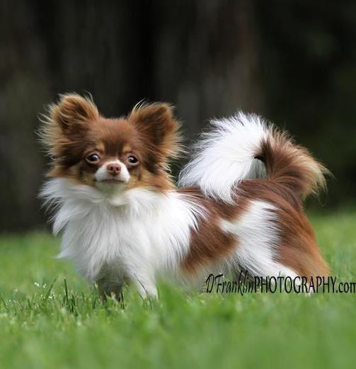 Chihuahua #chihuahua #chihuahuatypes #chihuahuadogs