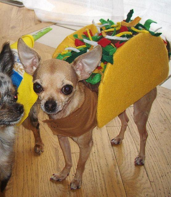 chihuahua in a taco costume