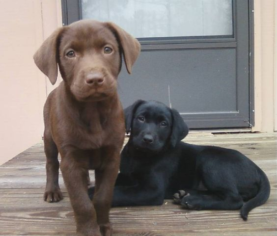 Chocolate and Black Lab  LOVE LABS!