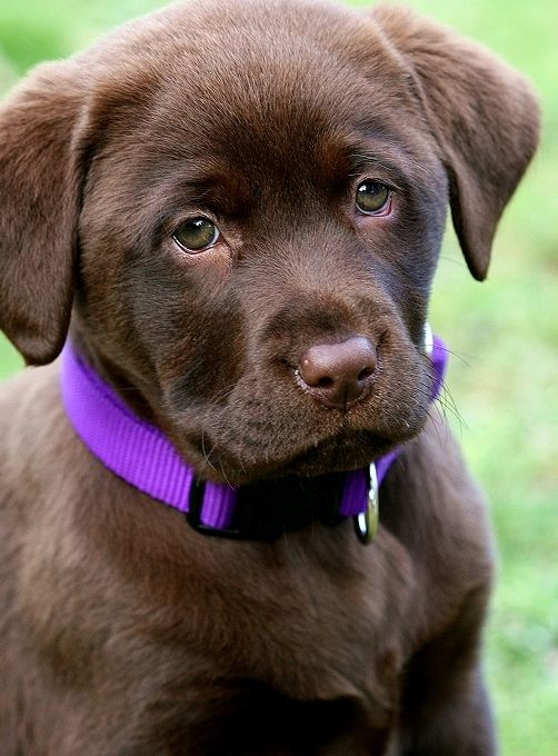 Chocolate lab puppy :)