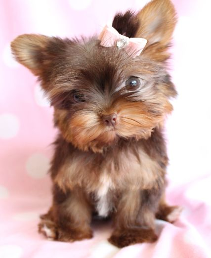 chocolate yorkie