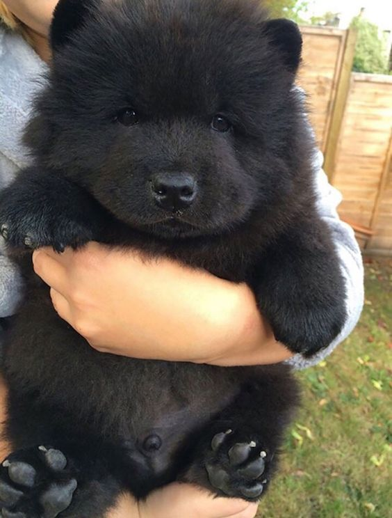 chubby dogs that look like bears - one of the most adorable dogs in the whole world!!!