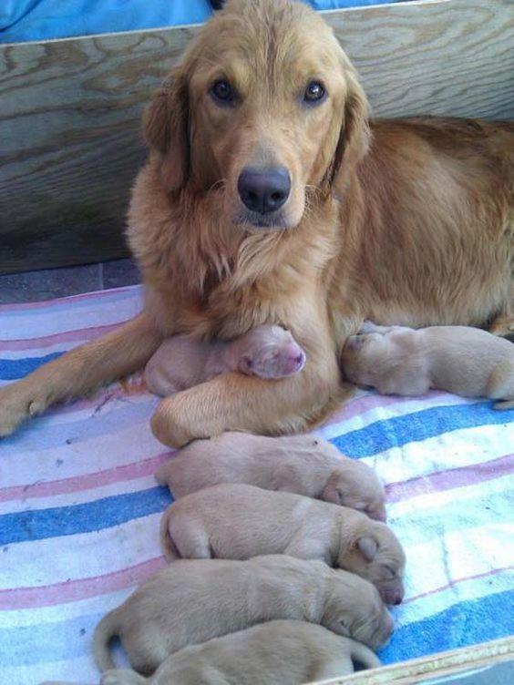 Classy Golden Retriever mom.