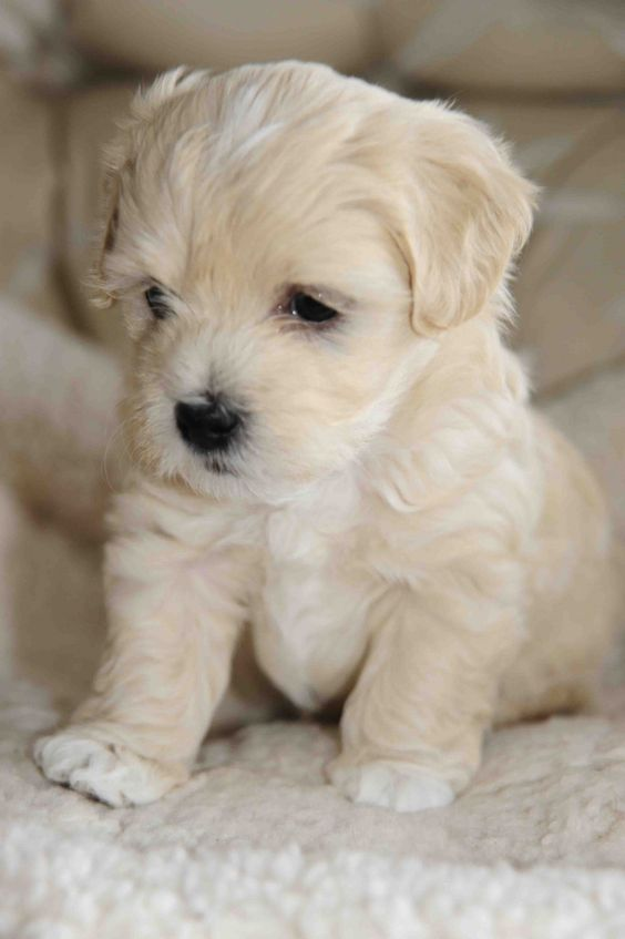 Click visit site and Check out Best HAVANESE Shirts. This website is excellent.  Tip: You can search