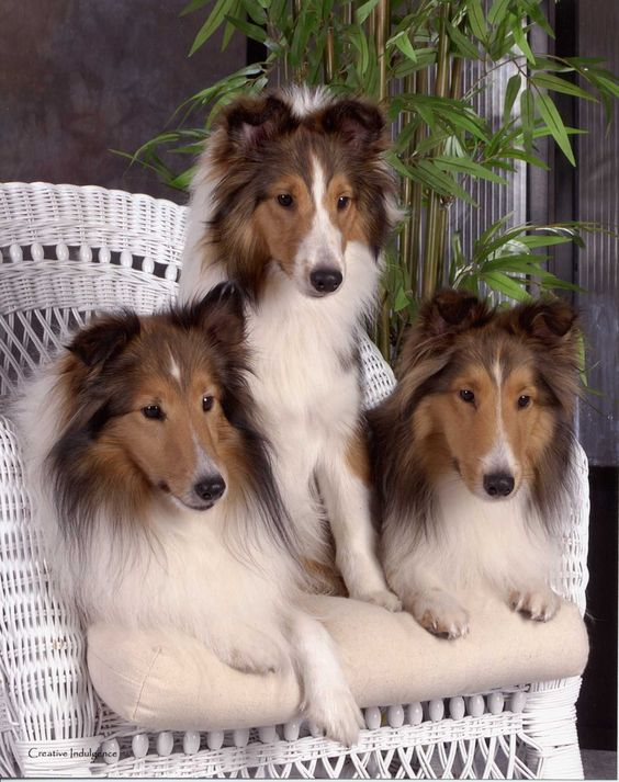 collie family enjoying their space and time together.