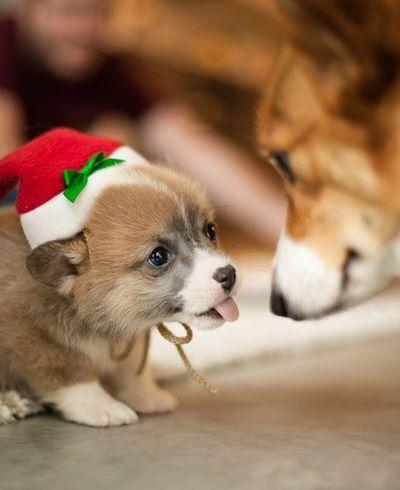 Corgi puppies are the cutest.