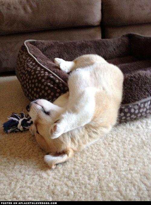 Corgi Puppy Sleeping |