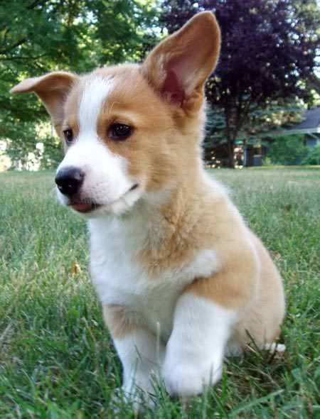 Corgies | Dogs That Don't Shed
