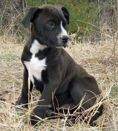 Cowboy the Adoptable Labrador Mix