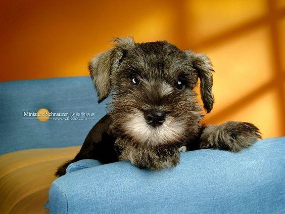 Cuddly Dogs - Miniature Schnauzer Puppy Wallpapers - Miniature Schnauzer Puppies Photos - Miniature Schnauzer Dog Wallpaper10