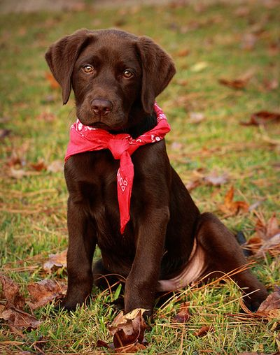 Cute Chocolate Lab Puppy with a Red Bandanna!