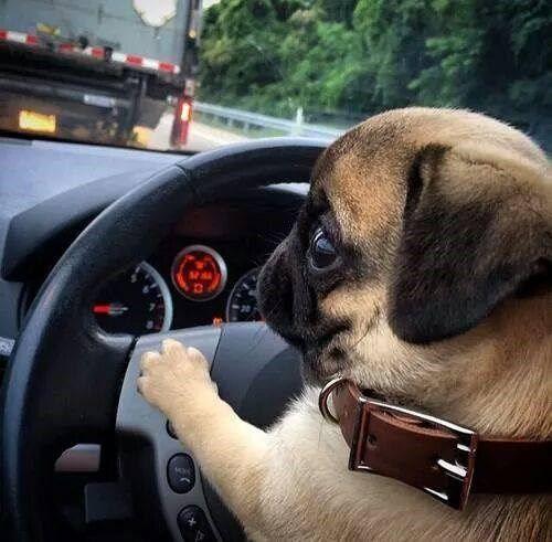Cute #Pug Puppy
