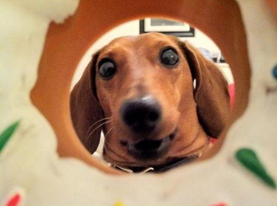 dachshund watching you