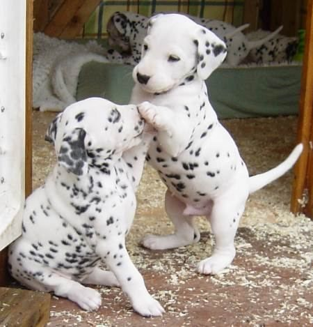 dalmatian puppies i had a dalmation for 14 years. she was a great family  owning a dalmation is like having an adhd child. needs constant attention . she shouldve been a toy poodle!