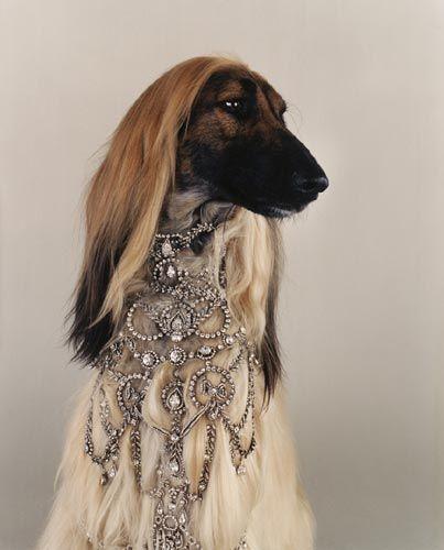 diamond dog collar on Afghan hound