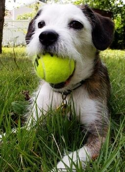 Difference between Parson, Jack Russell and Russell Terrier   Canidae Blog