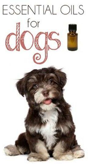 #DIY Essential Oils for Dogs #fleas #ticks #ears #health