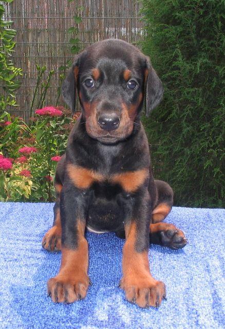 Doberman Pinscher Pup