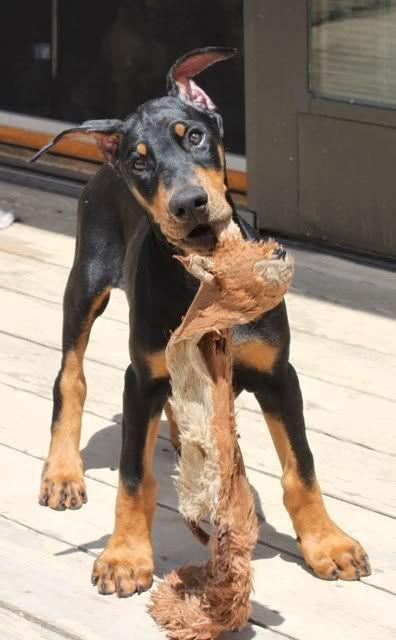 Doberman #puppy! #dobe #puppies