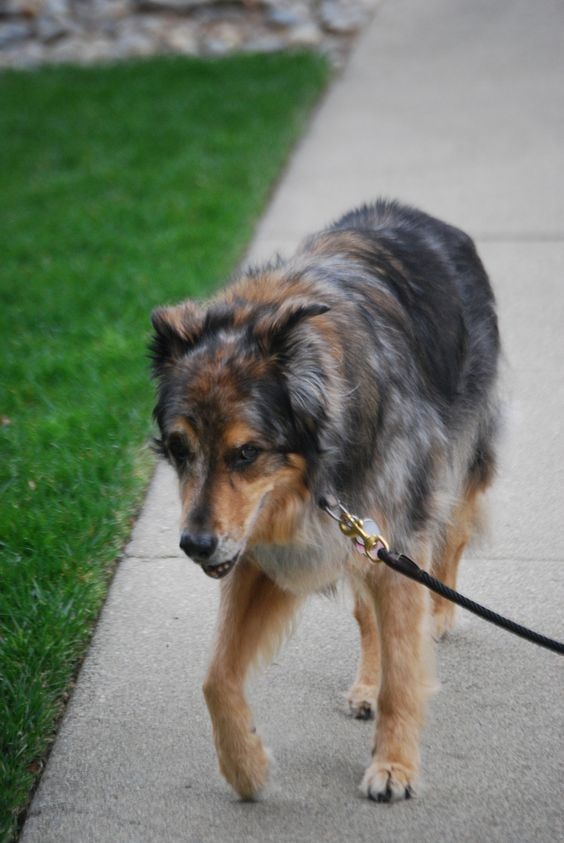 Does your dog suffer from joint pain? Here are some natural home remedies for treating dog joint pain. Plus tips on helping your older dog during his golden years.