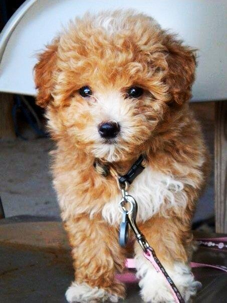 #dogs #Maltipoo #cute dogs #amazingdogs #lovelydogs #teacupdogs #teacupdogsdaily  For more information about Maltipoo dogs visit