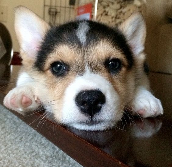 Don't Be Sad, Look At These Corgi Puppies