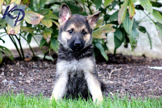 Duke – German Shepherd Puppies for Sale in PA | Keystone Puppies